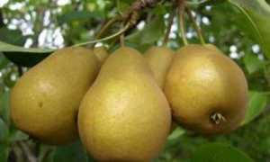 Груша «Дюймовочка»: описание и характеристика сорта, агротехника выращивание и особенности ухода, фото, отзывы