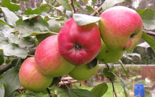 Яблоня Веньяминовское: описание и характеристика, выращивание и уход, фото