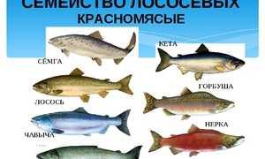 Кета или горбуша: что вкуснее и полезнее, основные отличия, что жирнее и дороже, какая рыба лучше для