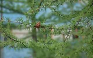 Лиственница — посадка и уход: фото в ландшафтном дизайне, во время цветения, корневая система, как сажать в