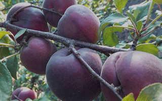Абрикос Чёрный Бархат: описание и характеристика сорта, особенности выращивания и ухода, фото