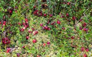 Клюква: посадка и уход в открытом грунте на дачном участке весной и осенью, фото