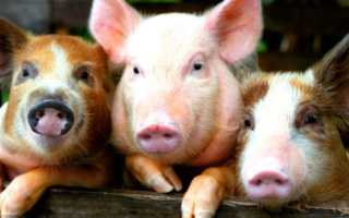 Мясные породы свиней и их характеристика