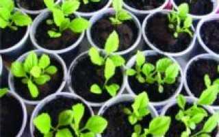Семена астр: правильная высадка