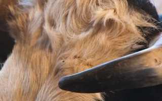 Сколько живут коровы и быки: средняя продолжительность жизни в домашних условиях, на фермах