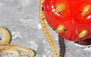 Нематода на клубнике: признаки появления, методы борьбы, правила обработки, профилактика, фото