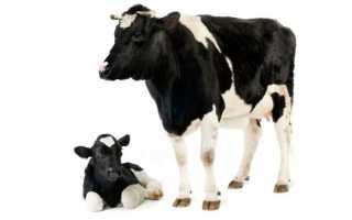 Коровье молозиво: польза и вред для человека, как приготовить в духовке