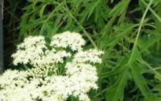 Бузина чёрная Лациниата (Sambucus nigra Laciniata): описание и фото, посадка и уход, зимостойкость растения
