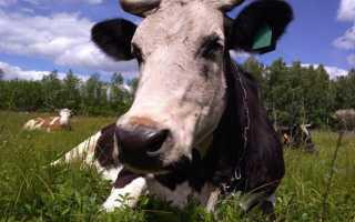 Отравление коровы: признаки, симптомы и лечение