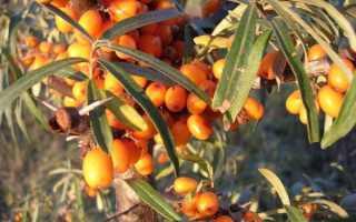 Как размножается облепиха: размножение весной зелёными черенками и семенами, как посадить и укоренить её