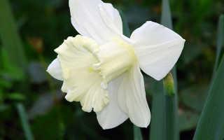 Нарцисс махровый Реплит (Replete): фото и описание цветка, посадка и уход, использование в ландшафтном дизайне