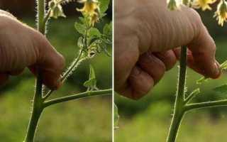 Пасынкуют ли низкорослые помидоры: значение и технология проведения процедуры