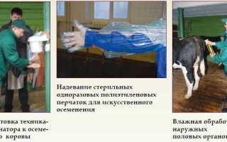 Осеменение коров: способы и техники, нужные инструменты, подготовка, видео