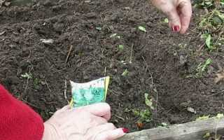 Посадка петрушки семенами под зиму: сроки посева, преимущества и недостатки, особенности правильной посадки