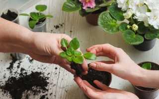 Как правильно посадить фиалку в домашних условиях: как выращивать и ухаживать за растением, видео