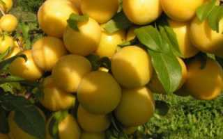 Слива Медовая: характеристики сорта, особенности посадки и ухода, способы борьбы с болезнями и вредителями