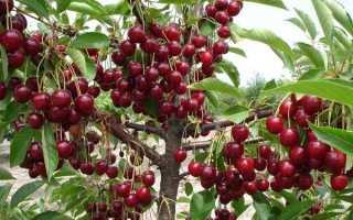 Вишня Тургеневка – описание сорта, выращивание, отзывы с фото