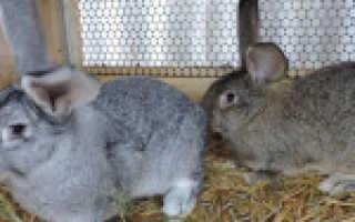 Кролики Ризен: описание породы и фото, видео, характеристики, содержание в домашних условиях, плюсы и минусы разведения