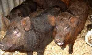 Порода свиней кармал: описание и характеристика с фото, содержание, уход и кормление до забоя, видео