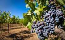 Виноград это ягода или фрукт – как правильно называть, описание и особенности