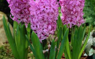 Выгонка гиацинтов к 8 марта: как правильно вырастить в домашних условиях, дальнейший уход за цветком