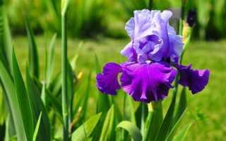 Размножение ирисов делением куста, как размножаются цветы — ирисы садовые или бородатые