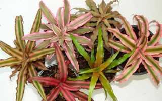 Криптантус (комнатное растение): уход в домашних условиях, фото, цветение