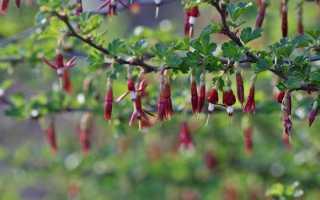 Крыжовник сорта Орлёнок: описание, преимущества и недостатки, уход, урожайность, фото