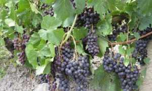 Гурзуфский розовый: характеристика и описание сорта винограда, особенности ухода и выращивания, фото