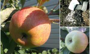 Яблоня Медуница: описание и характеристика сорта, особенности посадки и ухода, фото