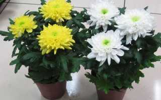Хризантема комнатная: описание с фото, посадка, выращивание и уход в домашних условиях, как пересадить и обрезать, болезни