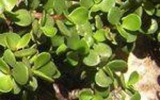 Портулакария: описание и фото растения, особенности выращивания и ухода, правила обрезки в домашних условиях