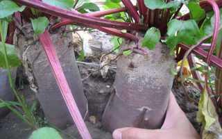 Посадка свёклы весной: как правильно посадить в открытый грунт, сроки, после чего можно сажать, особенности ухода