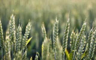 Озимая пшеница Ермак: характеристики сорта и его описание, урожайность и нормы высева