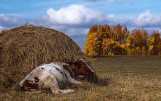Сколько сена нужно корове в день