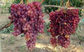 Виноград Велес: описание сорта, уход, размножение, отзывы и фото