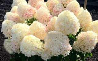 Гортензия метельчатая Шугар Раш (Hydrangea paniculata Sugar Rush): фото и описание сорта, посадка и уход