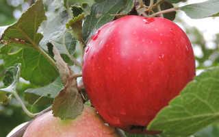Яблоня Пепин шафранный- описание и характеристика сорта, фото