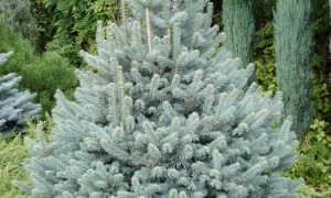 Пихта субальпийская Компакта (Abies lasiocarpa Compacta): описание и фото горного дерева, посадка и уход, использование в ландшафтном