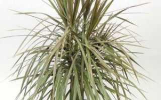 Драцена Сандера: описание растения, размножение и уход в домашних условиях, какие нужны удобрения, как обрезать и формировать