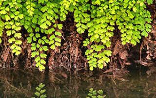 Комнатное растение адиантум: описание и его виды, посадка, выращивание и уход в домашних условиях, фото