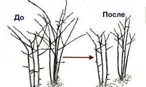 Как правильно обрезать ежевику весной, чтобы получить хороший урожай, уход за кустом для начинающих