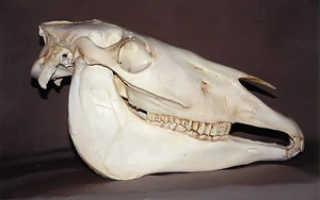 Череп коровы: строение, анатомия, фото