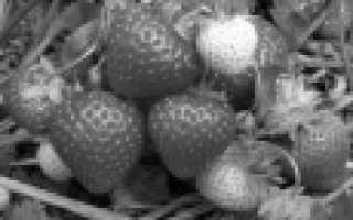 Клубника ремонтантная для Подмосковья: ТОП-15 лучших сортов, их описание и характеристика