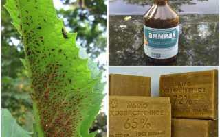 Нашатырный спирт для смородины весной против тли: подкормка, полив и опрыскивание аммиачным раствором