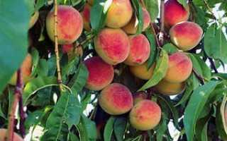 Опрыскивание персика осенью: особенности, чем и как правильно обрабатывать