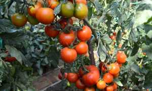 Томат Белый налив: характеристика сорта, фото отзывы, урожайность