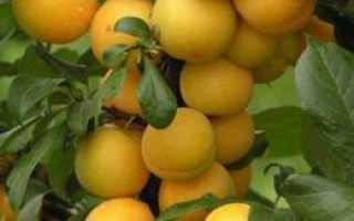Слива «Скороплодная»: описание и характеристика, посадка и уход за сортом, урожайность, фото