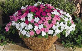 Бальзамин уоллера: описание, посадка, выращивание и уход в домашних условиях, как размножить растение