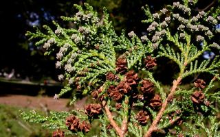 Кипарисовик горохоплодный Филифера Нана (Chamaecyparis pisifera Filifera Nana): описание, посадка и уход, растение в дизайне сада, фото